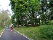 Oaktree on Main Yarra bike path at Abbotsford