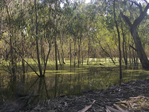 Billabong along the Main Yarra Trail