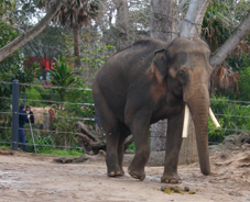 Melbourne zoo elephant