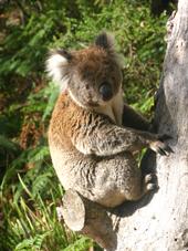 The Otways wildlife, Koala