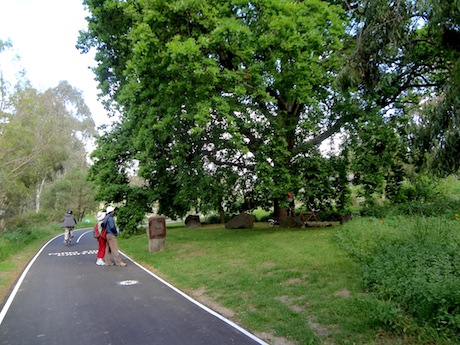 Oaktree on Main Yarra bike path at Abbotsford