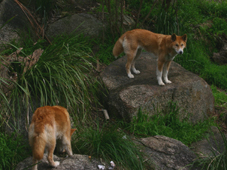 healesville sanctuary dingos