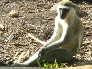 Werribee Zoo - Monkey