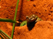 Frog at Melbourne Zoo