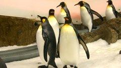 Melbourne aquarium penguins