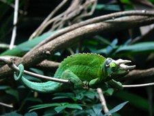 Chameleon at Melbourne Zoo