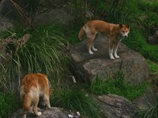 healesville sanctuary dingos