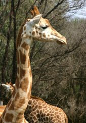 Werribee Zoo Giraffe