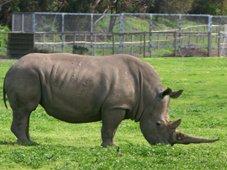 Werribee Zoo Rhino